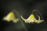 Wildflower - Fawn lily. Oregon USA Josephine County.