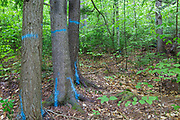 Trees marked with blue paint in the Northeast Swift Timber Project area of the White Mountain National Forest, New Hampshire USA. The blue paint indicates the tree will be cut.