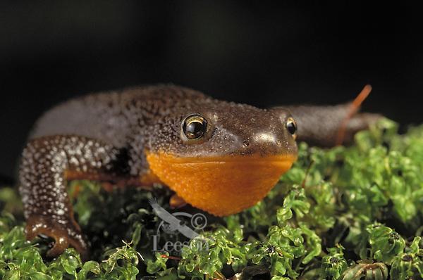 Rough-Skinned Newt. .Pacific Coast of North America, Alaska to California. .(Taricha granulosa).