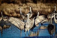 A Sandhill Crane spreads his wings just after sunrise in preparation for his daily flight to the farm fields to feed.