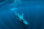 Blue whale slightly descending