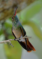 Juvenile buff-bellied hummingbird on twig