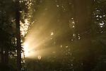 Godlight with spriderweb in the forest in the Oregon Coast Range.