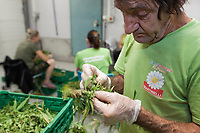 Switzerland. Canton Ticino. Sementina. Fioricultura Martinelli Sagl. Workers remove all or most of the big fan leaves with their fingers before drying the buds. The business of growing cannabis CBD is registered with the Swiss Federal Health Office. Several Swiss companies cultivate CBD plants in greenhouses as a tobacco substitute or according to medical standards in order to produce blossoms, concentrates, and other CBD products (oils, extracts and tinctures). The Swiss legal requirements have a 1 percent THC limit compare to the European Union (EU) where the THC limit is limited to 0.3 percent. Cannabidiol (CBD) is a phytocannabinoid discovered in 1940. It is one of some 113 identified cannabinoids in cannabis plants and accounts for up to 40% of the plant's extract. Cannabidiol can be taken into the body in multiple ways, including by inhalation of cannabis smoke or vapor, as an aerosol spray into the cheek, and by mouth. It may be supplied as CBD oil containing only CBD as the active ingredient (no included tetrahydrocannabinol [THC] or terpenes), a full-plant CBD-dominant hemp extract oil, capsules, dried cannabis, or as a prescription liquid solution. 22.07.2019 © 2019 Didier Ruef