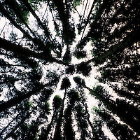 A view skyward in a pine tree forest by Colliford Lake on Bodmin Moor in Cornwall.