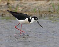 Black-necked Stilt, Bitter Lake National Wildlife Refuge, NM
