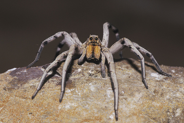 Wolf Spider (Lycosidae), adult perched on rock, Starr County, Rio Grande Valley, Texas, USA