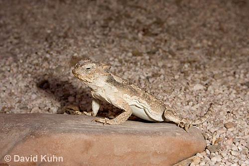 0610-1007  Desert Horned Lizard or Horny Toad (Mojave Desert), Phrynosoma platyrhinos  © David Kuhn/Dwight Kuhn Photography