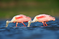 Roseate Spoonbill (Ajaia ajaja), adults feeding, Dinero, Lake Corpus Christi, South Texas, USA