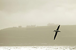 Gibson's Albatross (Diomedea antipodensis gibsoni) gliding over ocean near coast, Kaikoura, South Island, New Zealand