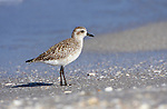 Black-bellied Plover, Sanibel, Florida, USA