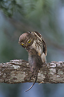 Ferruginous Pygmy-Owl, Glaucidium brasilianum , adult eating on mouse, Willacy County, Rio Grande Valley, Texas, USA, June 2004