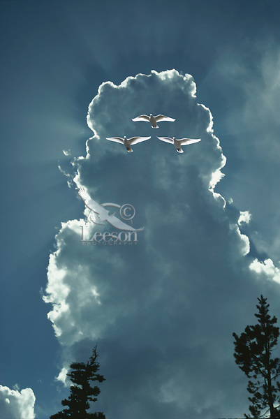 Doves and cloud