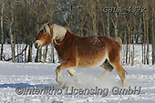 Bob, ANIMALS, REALISTISCHE TIERE, ANIMALES REALISTICOS, horses, photos+++++,GBLA4372,#a#, EVERYDAY