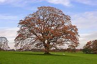 Oak tree in Autumn, Chipping, Lancashire.