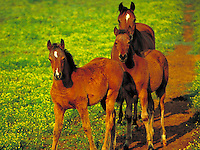 Arabian foals with mare. Curiosity freshness wonder. horse, horses, animals.
