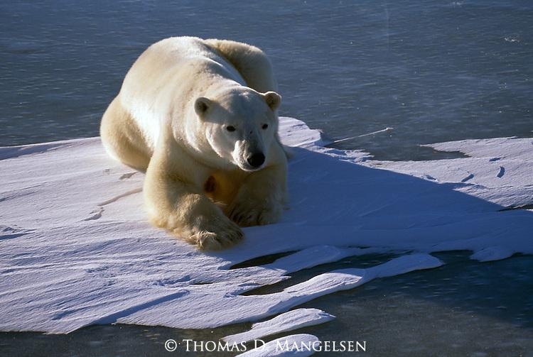 A polar bear lays on ice in the sun in Wapusk National Park, Manitoba, Canada.