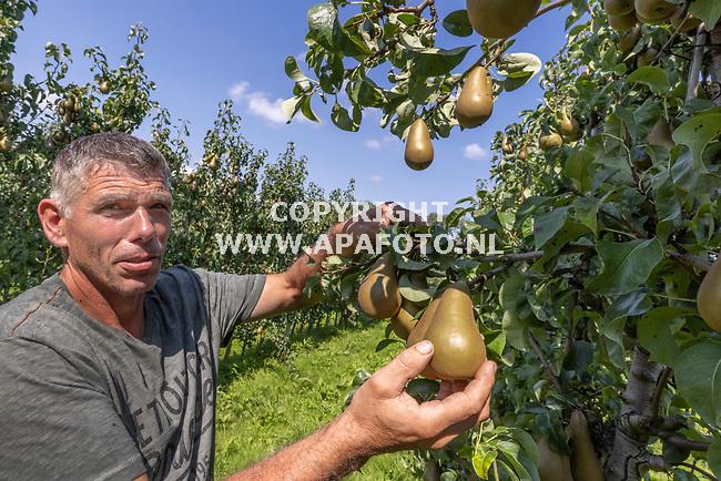 Winssen, 250821<br />Fruitteler Toine Jansen vaan kwekerij De Haneman met conference peren.<br />Foto: Sjef Prins - APA Foto