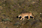 Mountain Lion (Puma concolor) female running, Torres Del Paine, Torres del Paine National Park, Patagonia, Chile