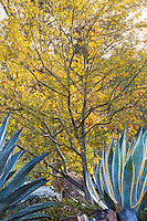 Parkinsonia 'Desert Museum' hybrid Palo Verde tree with Agave americana, Century Plant in drought tolerant garden with stone retaining wall at Los Angeles Natural History Museum