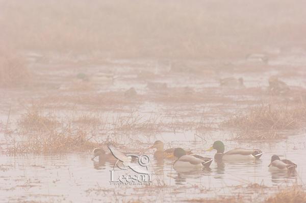 Ducks--mallards and American wigeon--on foggy fall morning.