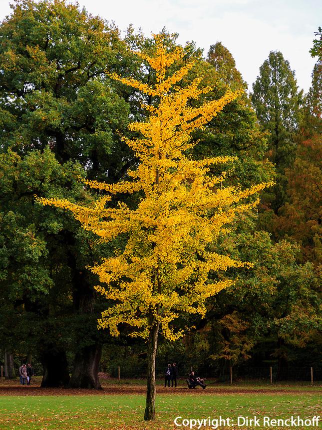 Altweibersommer, Gingko im Hirschpark in Hamburg-Blankenese, Deutschland, Europa<br /> Indian Summer, Gingko in Hirschpark in Hamburg-Blankenese, Germany, Europe
