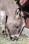 miniature donkey close-up of face grazing on hay