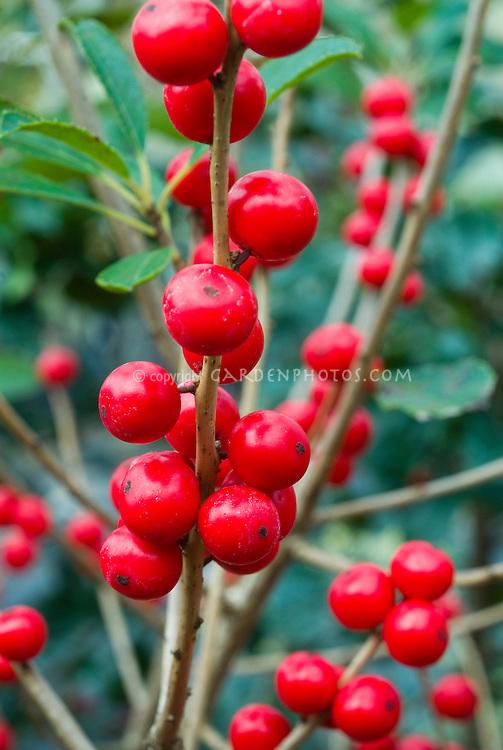 Ilex verticillata 'Red Sprite' berries holly