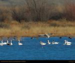 Snow Goose Landing, Bosque del Apache Wildlife Refuge, New Mexico