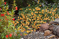 Orange flowering subshrub Sticky Monkey (Mimulus or Diplacus aurantiacus)  by rocky dry stream in Kyte California native plant gardenKyte California native plant garden