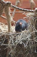 Black rat.
