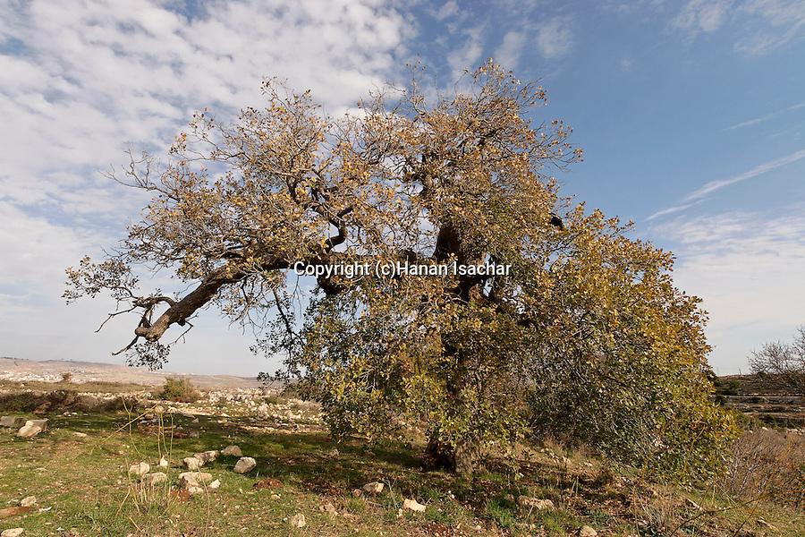 Judea, Cyprus Oak tree in Beth