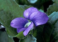 Close up of common violet, Viola sororia sororia, Violaceae, USA