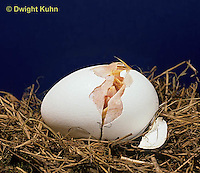 DG03-026x  Chicken - embryology, chick opening egg with egg tooth