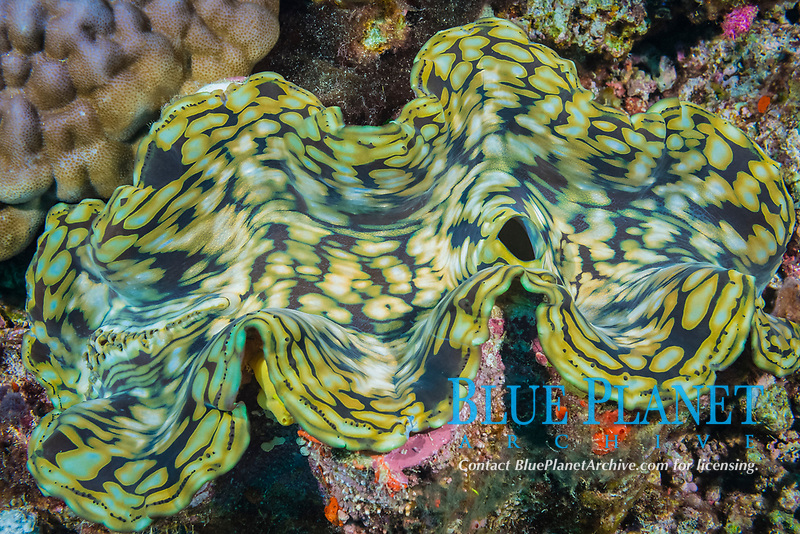 fluted giant clam, Tridacna squamosa, Viti Levu, Fiji, South Pacific Ocean