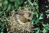 Blut-Hänfling, Bluthänfling, Hänfling, Weibchen brütend auf dem Nest, Linaria cannabina, Carduelis cannabina, Acanthis cannabina, linnet