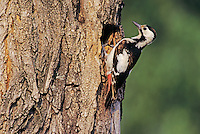 Syrian Woodpecker, Dendrocopos syriacus, female at nesting cavity, Illmitz, Lake of Neusiedl, Austria, Europe