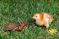 Rhode Island red chick and male box turtle in grass with yellow dandelion flower