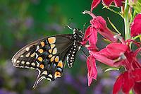 Eastern Black Swallowtail Butterfly (Papilio polyxenes asterius) female on Cardinal Flower (Lobelia cardinalis) in backyard garden. Summer. Nova Scotia, Canada.