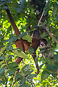 Black-handed Spider Monkey {Ateles geoffroyi}. Corcovado National Park, Osa Peninsula, Costa Rica. May. IUCN Red List Endangered species.