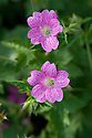 Geranium x oxonianum 'Lutzie', end June.