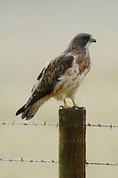 Swainson's Hawk, Buteo swainsoni, adult on fence post after rainstorm, Rocksprings, Wyoming, September 2005