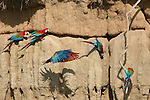 A group of Red and Green Macaws gather at a clay lick.