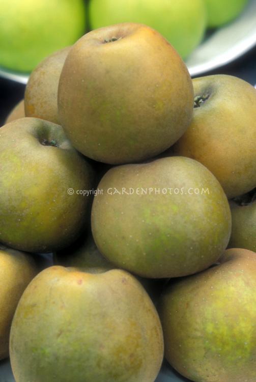 Apple 'Golden Russet' Malus domestica fruit dessert apples, heirloom apple variety, American antique apple, great for eating or cider