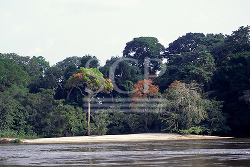 Gabon. Ogooue (Ogowe) River; river bank with tall rain forest trees.