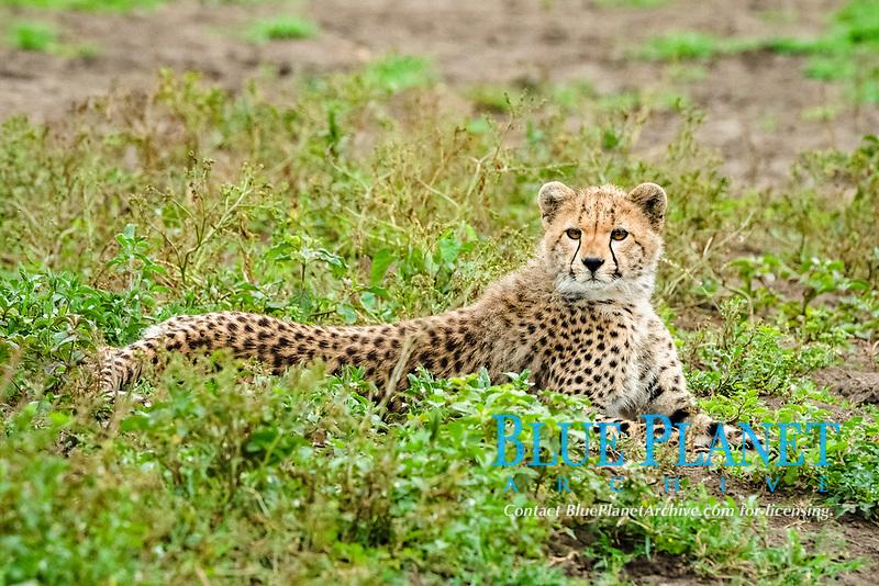 cheetah (Acinonyx jubatus), cub, Ndutu, Ngorongoro Conservation Area, Serengeti, Tanzania, Africa
