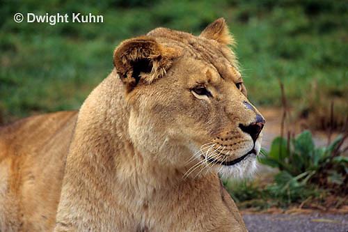 MA39-008a  African Lion - Panthera leo