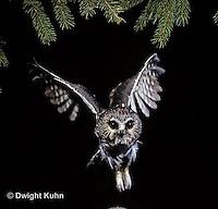 OW07-057z  Saw-whet owl - flying - Aegolius acadicus