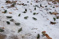 Eichhörnchen, Fraßspuren, im Baum abgebissene und runtergefallene Fichtentriebe, haben männliche Blütenknospen gefressen, Fraßspur, Frass-Spur, Sciurus vulgaris, Red squirrel, Écureuil d`Europe