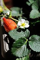 Gardening- Ripe strawberry fruit grown Gardening- Ripe strawberry fruit grown